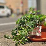 お店のマスコットの植物がデカくなった!